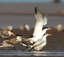 Critically Endangered Chinese Crested Tern, the world's most threatened seabird © He Chuan