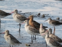 Bar-tailed Godwit Photo © Dave Bakewell