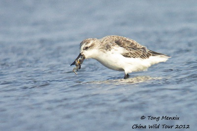 A Spoon-billed Sandpiper feeding at Rudong on Rudong mudflats, Jiangsu, China © Tong Menxiu, China Wild Tour 2012