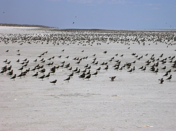2.88 million Oriental Pratincoles on Eighty-Mile Beach, Western Australia taken in February 2004 © Chris Hassell