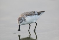 Spoon-billed Sandpiper Photo © Smith Sutibut