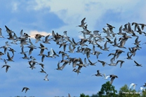 Shorebirds flying over Bako-Buntal Bay, Malaysia