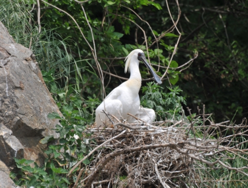 Black-faced Spoonbill at nest © 2011 EAAFP