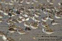 Spoon-billed Sandpipers in the Rudong mudflats, China © Tong Menxiu