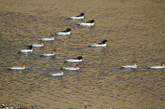 flock_of_adult_Xinyang_Du_Qing[1]
