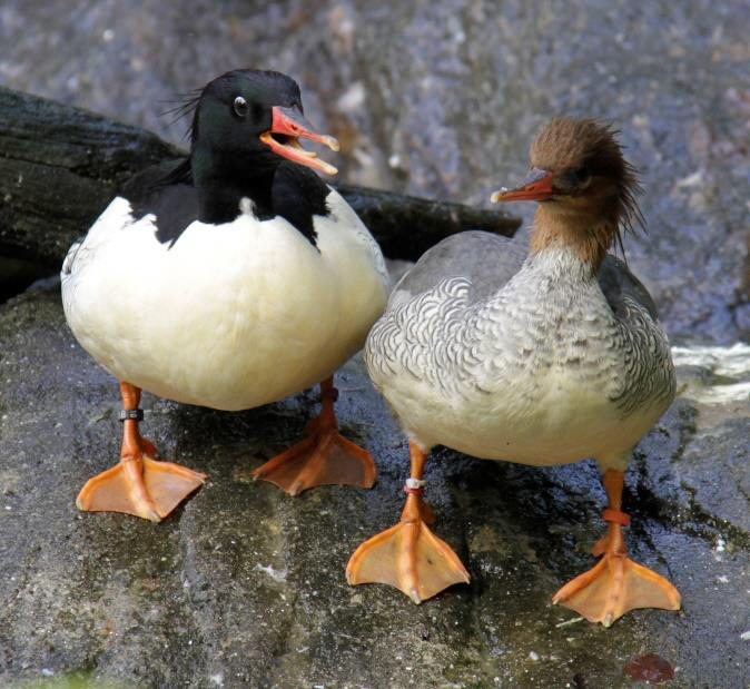 Scaly-sided Merganser pair. / Photo by Judith Wolfe.