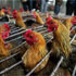 Thumbnail of chickens in cages