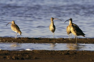 Far-eastern Curlew